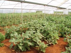 intensive vegetables 2